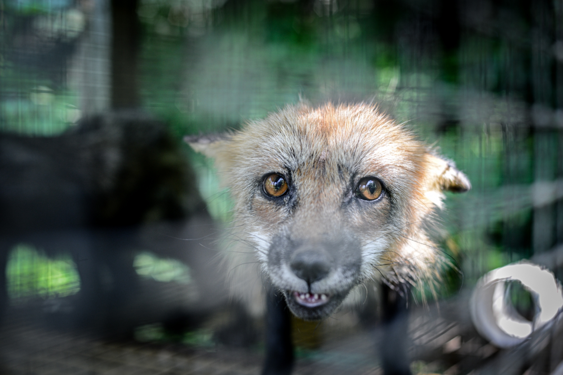 A red fox at a fur farm, which has since been closed down. Canada, 2014.